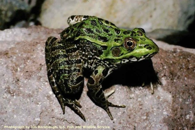 The Vegas Valley Leopard Frog or Chiricahua leopard frog (Lithobates chiricahuensis or Rana fisheri)is a species of frog in the Ranidae family found in Mexico and the United States. Its natural habitats are temperate forests, rivers, intermittent rivers, swamps, freshwater lakes, intermittent freshwater lakes, freshwater marshes, intermittent freshwater marshes, freshwater springs, ponds, and open excavations. It is threatened by habitat loss and chytrid fungus to such an extent that it has vanished from 80% of its former habitat. The Phoenix Zoo, Arizona's Department of Game and Fish, and the USFWS are trying to mitigate threats through captive breeding and reintroduction efforts.
