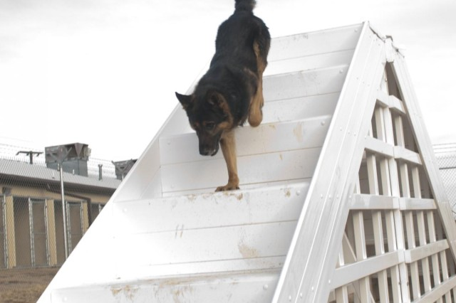 Rocky, a patrol narcotics dog with the 226th Military Working Dog Detachment, runs through a set of stairs during an obedience demonstration Jan. 6, 2014, at the 226th MWD Detachment, Fort Hood. The certification tests the dog teams' proficiency in patrol and detection work by having them complete a series of tasks such as an odor recognition test, obedience, response to gun fire, and building and road searches.