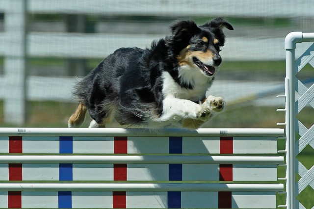 "Jane glides over a panel jump in the Merrimac Dog Training Club Agility Trial, Toano, April 7, 2012. She completed the course in the prescribed time with a �""clean"" or perfect run."