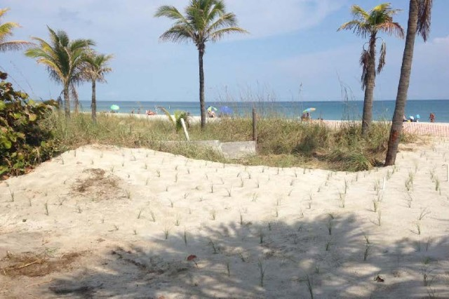 Residents at the Starlight Towers complex in Broward County, Fla., temporarily relocated sea oats between the complex and the shoreline so the U.S. Army Corps of Engineers could place sand in the low elevation area. Residents planted the vegetation to help protect the beach without realizing they cut off access for renourishment.  The sand placement increases storm protection to upland development. An added benefit is that this sand renourishment also helps restore shorebird and marine turtle habitat.