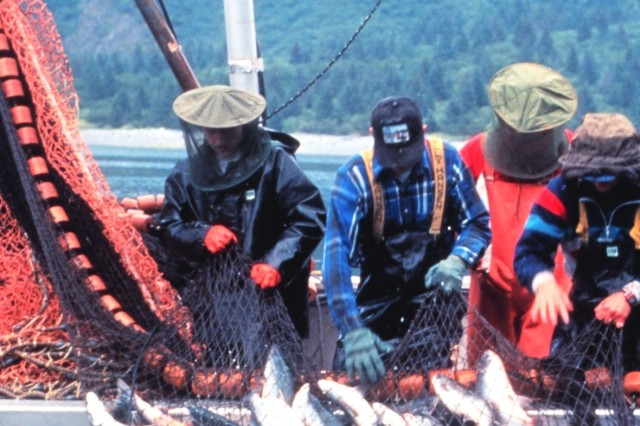 A catch of salmon by a purse seiner, Prince William Sound, Alaska. (Photo courtesy National Oceanic and Atmospheric Administration)