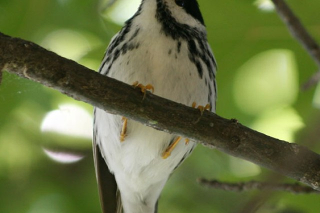 The Blackpoll Warbler is a neotropical migrant that stops in the area during spring migration in large numbers to forage on Cankerworms and insects.