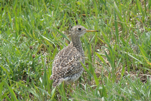 The upland sandpiper is considered a threatened species by the state of New York.