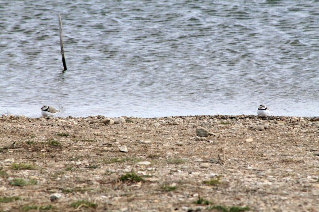 Two Piping Plovers inspect the shoreline of Lake Sakakawea, May 12, looking for a possible nesting ground. Plovers in the Great Plains make their nests on open, sparsely vegetated sand or gravel beaches adjacent to alkali wetlands and reservoirs, on sand bars, and dredged material islands of major river systems.