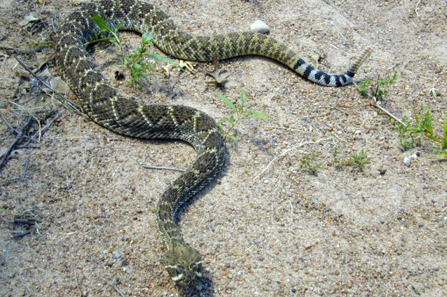 the main characteristics of the snakes Texas is always bragging about having the most, the biggest, and the best of  everything how do we  what other distinctive characteristics do snakes exhibit.