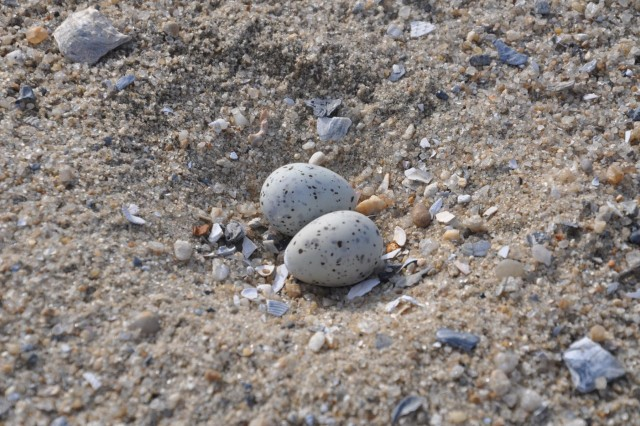 "Corps biologists spotted several least tern nests like the one pictured here at the new 12A bird island. The least tern is listed as a ""threatened species"" in South Carolina. (USACE photo by Tracy Robillard)"