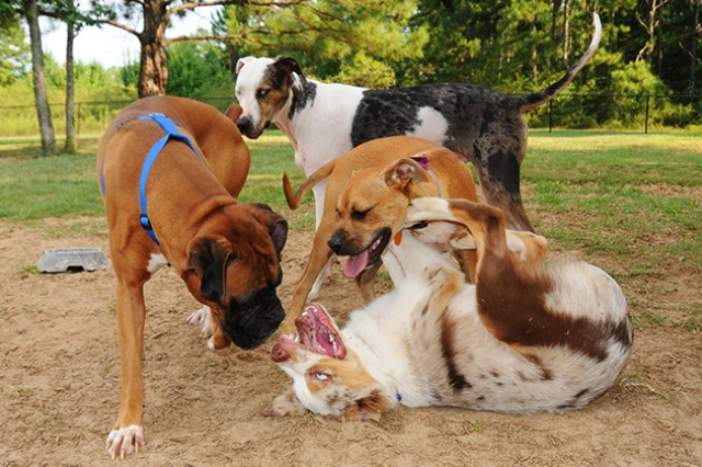 Several dogs play together July 26 at the CML Bark Park.