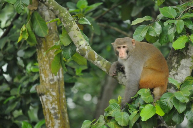 A monkey sits on a tree branch Aug. 27, 2014, during a bilateral exchange exercise between the U.S. and Bangladesh Armies at the Bangladesh Institute of Peace Support Operation Training at the Rajendrapur Catonement Training Area, near Dhaka, Bangladesh. The U.S. Army was in Bangladesh for Aurora Monsoon, an exchange exercise focused on building relationships and enhancing abilities in operating in a jungle environment and unfamiliar terrain. (U.S. Army photo by Sgt. 1st Class Jeffrey Smith/Released)