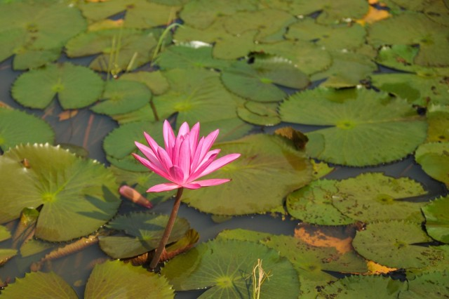 A water lily, the national flower of Bangladesh, blossoms in a pond Aug. 26, 2014 during a bilateral exchange exercise between the U.S. and Bangladesh Armies at the Bangladesh Institute of Peace Support Operation Training at the Rajendrapur Catonement Training Area, near Dhaka, Bangladesh. The U.S. Army was in Bangladesh for Aurora Monsoon, an exchange exercise focused on building relationships and enhancing abilities in operating in a jungle environment and unfamiliar terrain. (U.S. Army photo by Sgt. 1st Class Jeffrey Smith/Released)