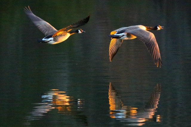 Marjorie Lehman of Fort Knox, Kentucky, takes first place in the animals category of the other MWR eligible patrons division of the 2014 Army Digital Photography Contest with Geese at Sunset.