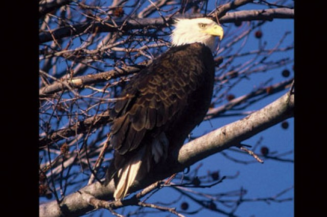 monitoring bald eagles article the united states army