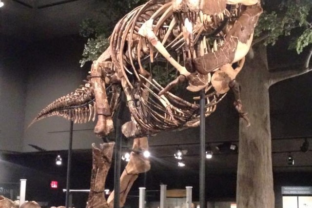 Montana's T.rex is the most completely mounted T.rex fossil, not a cast or a replica. The mount includes the animal's belly ribs, also known as gastralia. Belly ribs apparently helped protect vital organs, and are found in all meat-eating dinosaurs, crocodilians, and some other reptiles