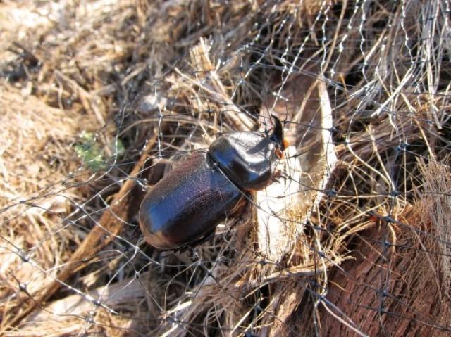 Post works to oust pesky coconut rhinoceros beetle