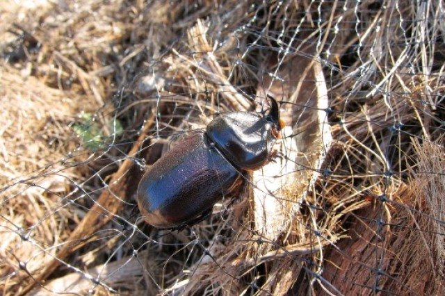 Pictured is an adult coconut rhinoceros beetle, Oryctes rhinoceros, at Mamala Bay golf course, Joint Base Pearl Harbor-Hickam in Hawaii. At the time this photo was taken, a mesh covering had been put over the mulch pile that they're breeding in, in order to minimize the number of emerging adults that spread around.