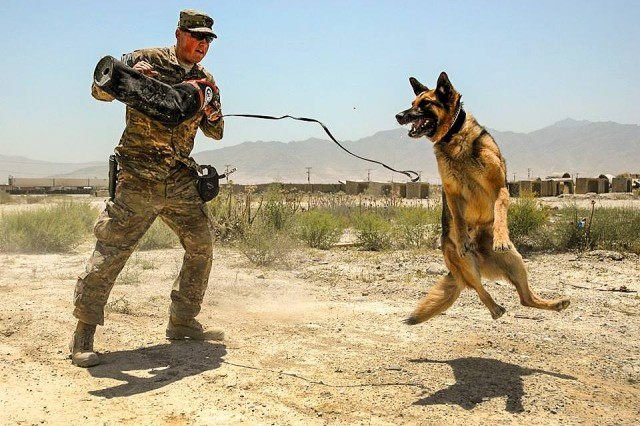 A U.S. Soldier trains his working dog on Bagram Airfield, Afghanistan, July 4, 2015. The Soldier is assigned to the 709th Military Police Battalion, 18th Military Police Brigade.