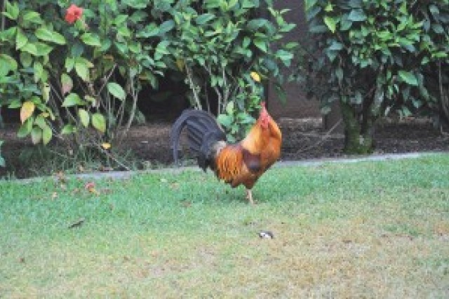 Chickens and roosters are being offered up for adoption at U.S. Army Garrison-Hawaii. They have taken up residence at the post health clinic.