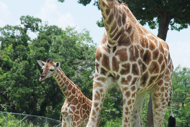 Two giraffes walk across their enclosed space, July 3, at the Oklahoma City Zoo. The female baby giraffe was born in June and is named Julu.