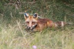 Fort Drum's wildlife biology team is in the midst of a fox tracking project that will help to inform the Environmental Division about the population density and distribution of foxes across the cantonment area.