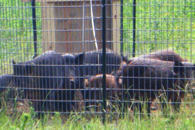 Feral hogs can be captured in fence traps like this one on Fort Rucker.