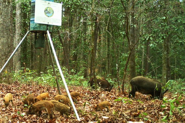 Hogs on Fort Rucker range in size from 60- 300 pounds or more.