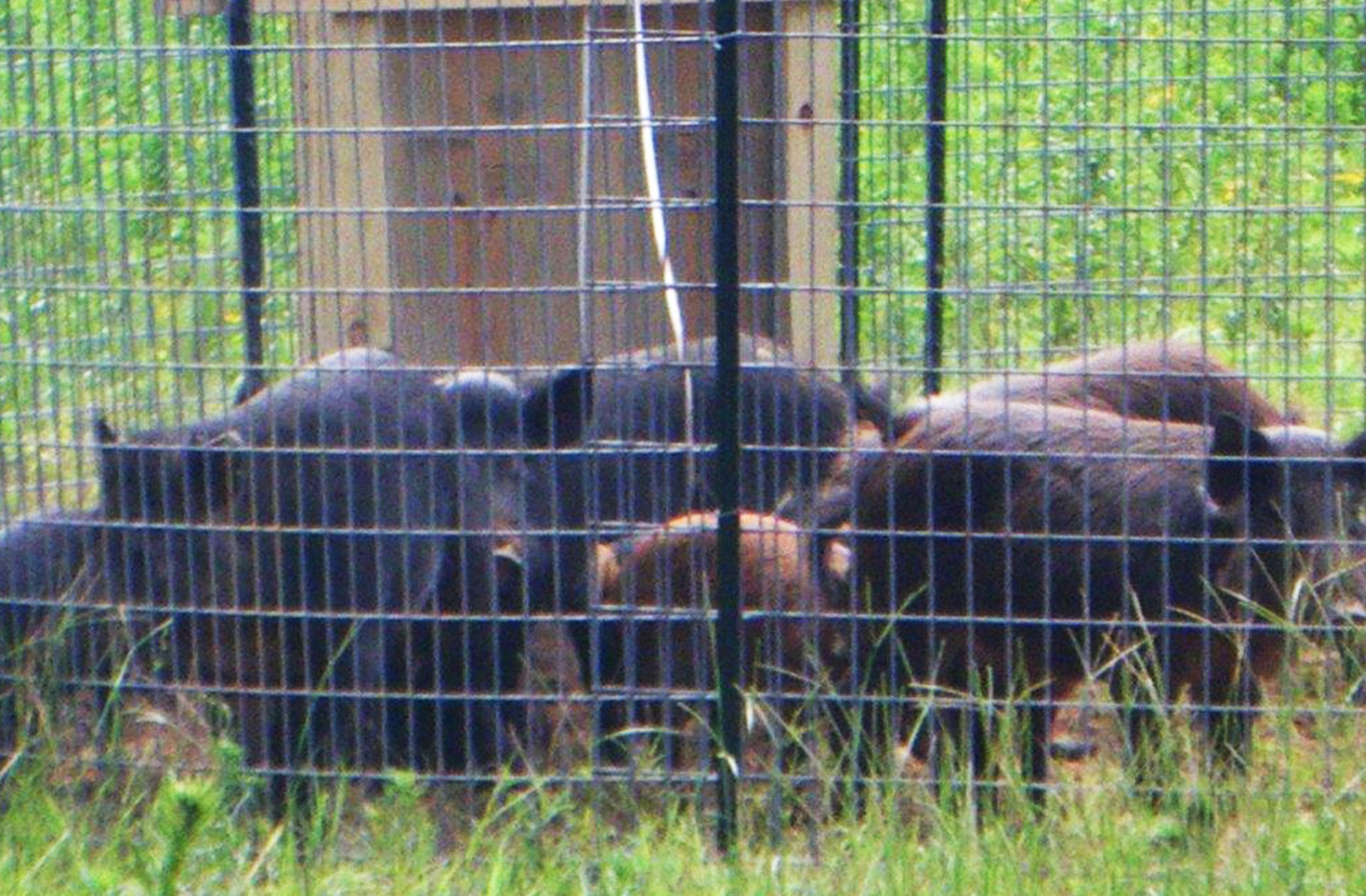 Fort Rucker Offers Incentives To Hunters Trappers To Target Feral Hogs