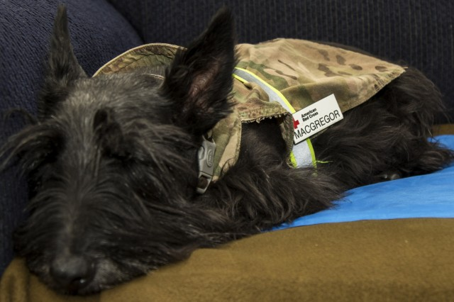 MacGregor MacGregor, a Scottish terrier Hhuman-animal bond dog, takes a nap July 1. The dog and Grace MacGregor, the dog's handler, volunteer at the Resiliency Center and the Combat Support Hospital, where they promote the welfare and resiliency of service members and civilians at Camp Arifjan, Kuwait.