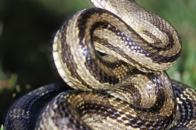 The gray rat snake is the most commonly encountered snake in Georgia. It feeds primarily on rodents and birds. The pattern on the gray rat snake's back makes it easily recognizable.