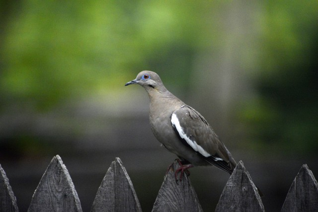 A white-winged dove rests on a fence near Lawton, Okla.