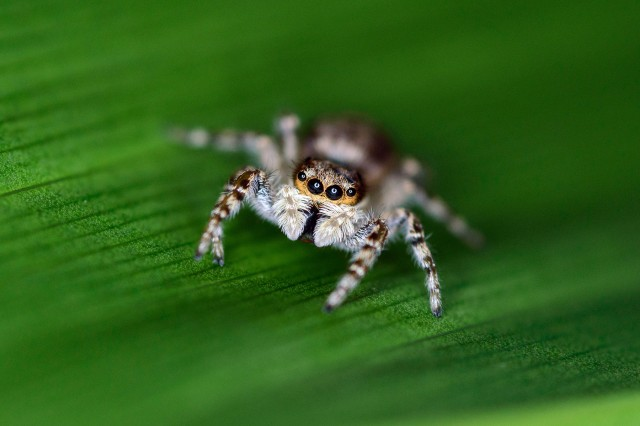 """A jumping spider in Puerto Rico inspired Eneilis Mulero to capture """"Little Wonders,"""" a winner in the """"Go Wild"""" Digital Photography Contest hosted by U.S. Army Reserve Sustainability Programs. Mulero is a Civilian volunteer with Fort Buchanan's Natural Resources Program."""