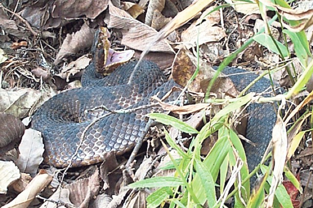 A cottonmouth takes a defensive posture on Fort Leonard Wood. Both copperheads and cottonmouths are venomous snakes that are native to Missouri and common on Fort Leonard Wood.