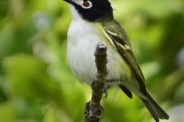 A male black-capped vireo.