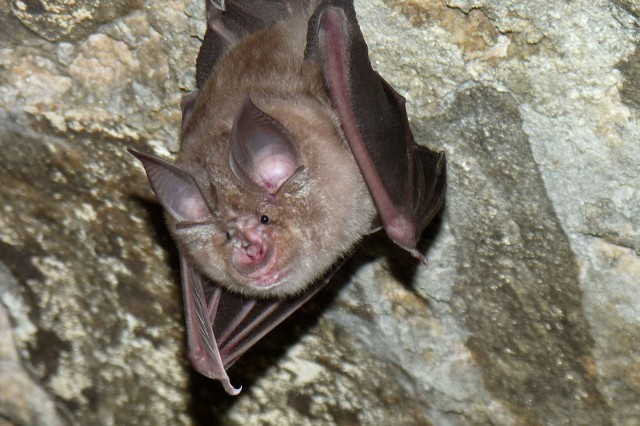 the greater horseshoe bat and mouse-eared bats hibernate in caves at Hohenfels Training Area. The Army works with host nation authorities and nature protection non-governmental organizations to protect these bats.  HTA is home to the only reproducing population of the greater horseshoe bat in Germany.