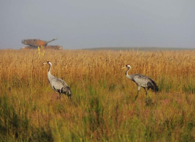 Kranich cranes in the Grafenwoehr Training Area
