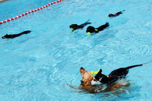 Dogs swim together during last year's Dog Days of Summer.