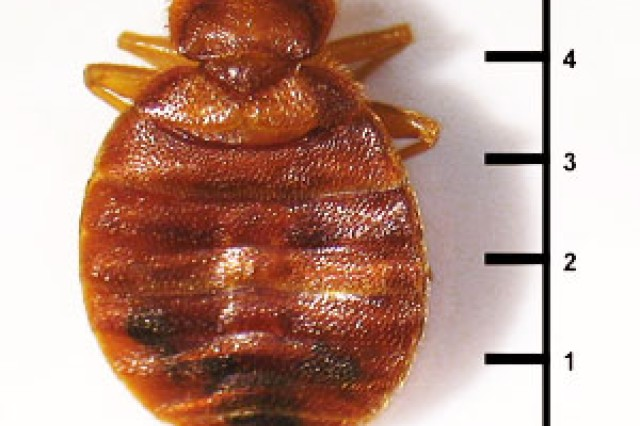 Bed bugs range from 1mm to 7mm, roughly the size of Lincoln's head on a penny, and can live several months without a blood meal