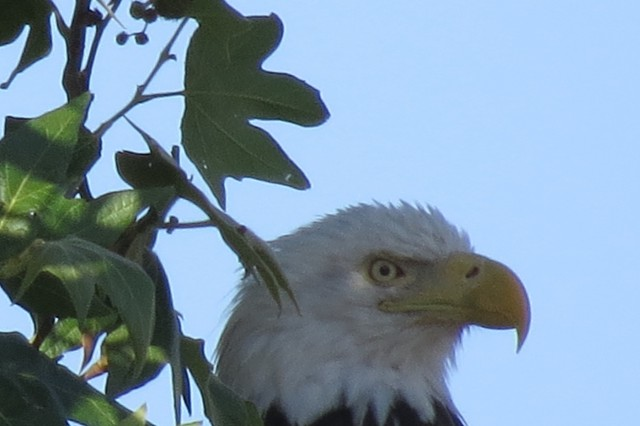 Nancy, a bald eagle, has raised two eaglets on Camp Roberts during the nesting season in 2017.