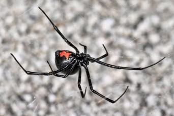 Spider bite or suspected spider bite?