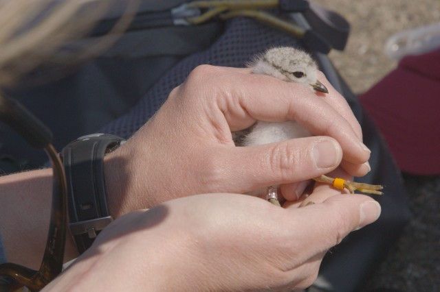 Cathy Haffner, PGC Biologist, bands a 9-day-old Piping Plover chick. Photo credit: Tracy A. Graziano / Pennsylvania Game Commission Photo