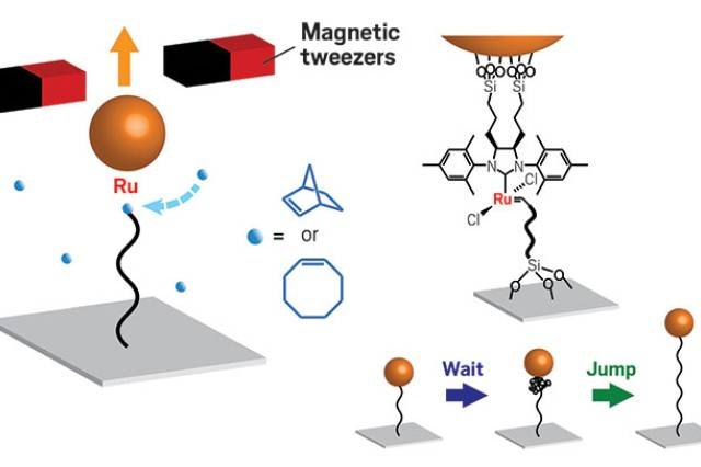 Schematic of a magnetic tweezers measurement of a growing polymer (black string) tethered between a surface and a ruthenium-based catalyst that is anchored to a magnetic particle. The catalyst inserts new monomers (blue spheres), leading to the extension lengthening of the polymer. Researchers are able to visually observe the wait-and-jump dynamics of the growing polymer.