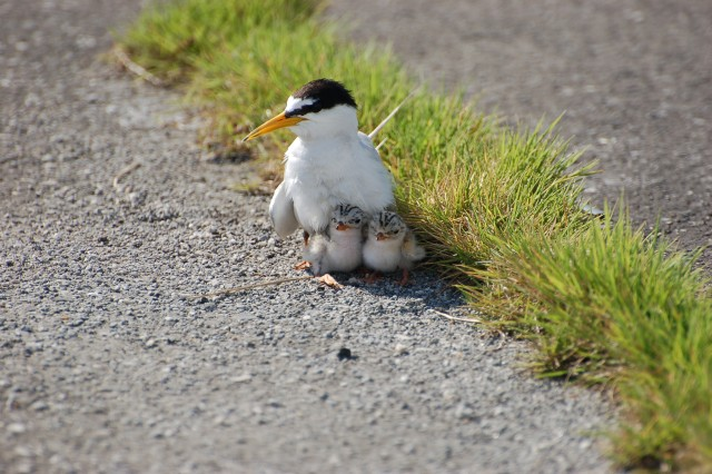 A Little Tern (Sterna albifrons) adult protects two fledglings at Naha Military Port, Okinawa, Japan.
