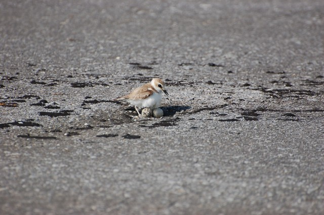 Kentish plover (Charadrius alexandrinus) incubates two eggs at Naha Military Port. These ground-nesting birds migrate to Okinawa during the summer, and prefer the Port due to its lack of natural predators. However, the small size and color of the eggs make it difficult to discern against the gravel.