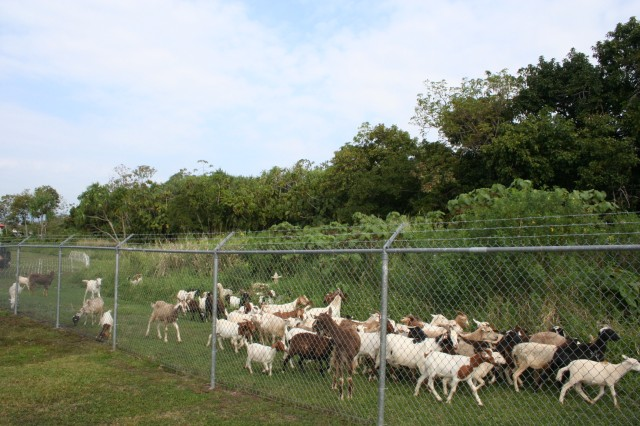 The goats and sheep arrived at Keaukaha Military Reservation, Hawaii, where grazing is used at various locations to reduce costs and herbicide applications.