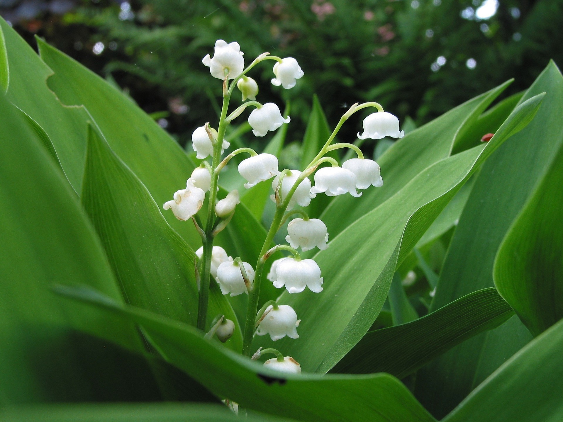 May 1s Tradition The Lily Of The Valley In Belgium Article The