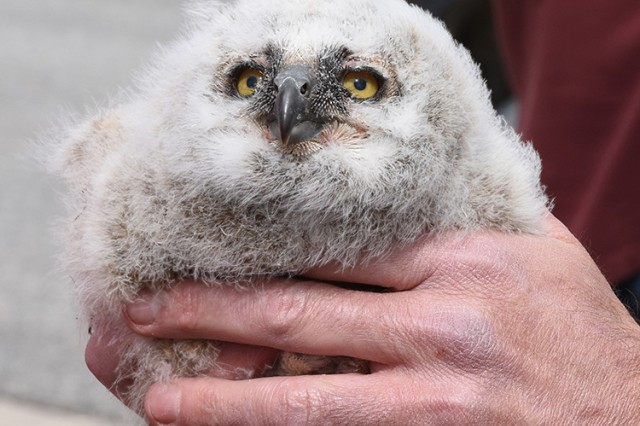 180418-A-BB276-013 A two-week-old Great Horned Owl receives a leg band for tracking, during the April 18, 2018 observance of Earth Day at Dugway Proving Ground, Utah. Great Horned Owls have a life expectancy of 13 years. As this bird is captured by scientists through the years, the registered leg band will reveal its age, where it was previously captured and its flight patterns. Photo by Al Vogel, Dugway Proving Ground Public Affairs