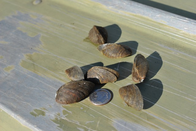 Zebra mussels are a small mussel species that lives in lakes and rivers and feeds off plankton and other tiny food particles in water. Zebra mussels attach themselves to objects such as boats, docks, dam gates, water intake pipes and other structures clogging or blocking them. Since they attach to boats and more, they continue to be introduced to new bodies of water every year.