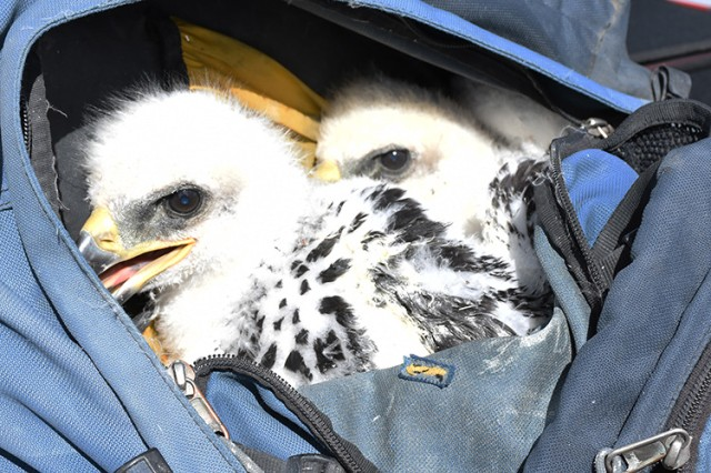 Two golden eagle chicks ride safely and comfortably for about two minutes in a small pack carried on the back of Robbie Knight, natural resources manager for Dugway Proving Ground, Utah. The method allows Knight to use both hands for climbing, while the darkness of the pack keeps the birds quiet and still. Both birds were banded April 30, 2018 and the process was filmed for a new exhibit by the Draper Natural History Museum of Cody, Wyoming.