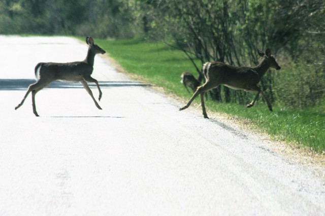 Deer are shown on a road on North Post on May 15, 2018, at Fort McCoy, Wis. Deer are one of several species of game animals found on the installation. Wildlife management at Fort McCoy is completed by the Directorate of Public Works Environmental Division Natural Resources Branch. (U.S. Army Photo by Scott T. Sturkol, Public Affair Office, Fort McCoy, Wis.)