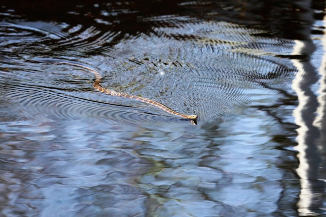 A common watersnake is shown swimming in the North Flowage lake on May 15, 2018, at Fort McCoy, Wis. Several species of snakes are found on the installation. Wildlife management at Fort McCoy is completed by the Directorate of Public Works Environmental Division Natural Resources Branch. (U.S. Army Photo by Scott T. Sturkol, Public Affair Office, Fort McCoy, Wis.)