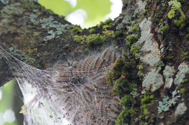 Oak Processionary Moth caterpillars in an oak tree located on Rose Barracks, Stuttgart.