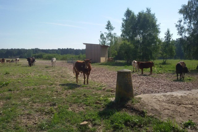 Zebu cattle graze on the grounds of the former NATO missile site turned conservation area near Geimsheim, Germany. Following the removal of buildings and facilities, the open land is managed to ensure it is viable for cattle grazing.